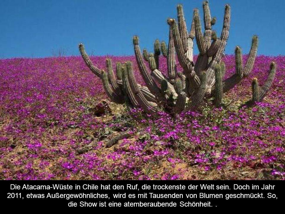 Die Atacama-Wüste in Chile hat den Ruf, die trockenste der Welt sein