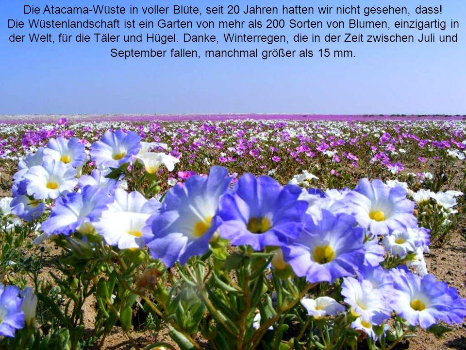 Die Atacama-Wüste in voller Blüte, seit 20 Jahren hatten wir nicht gesehen, dass.