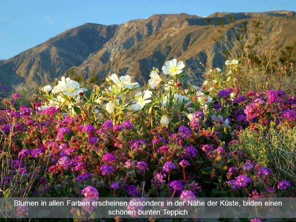 Blumen in allen Farben erscheinen besonders in der Nähe der Küste, bilden einen schönen bunten Teppich