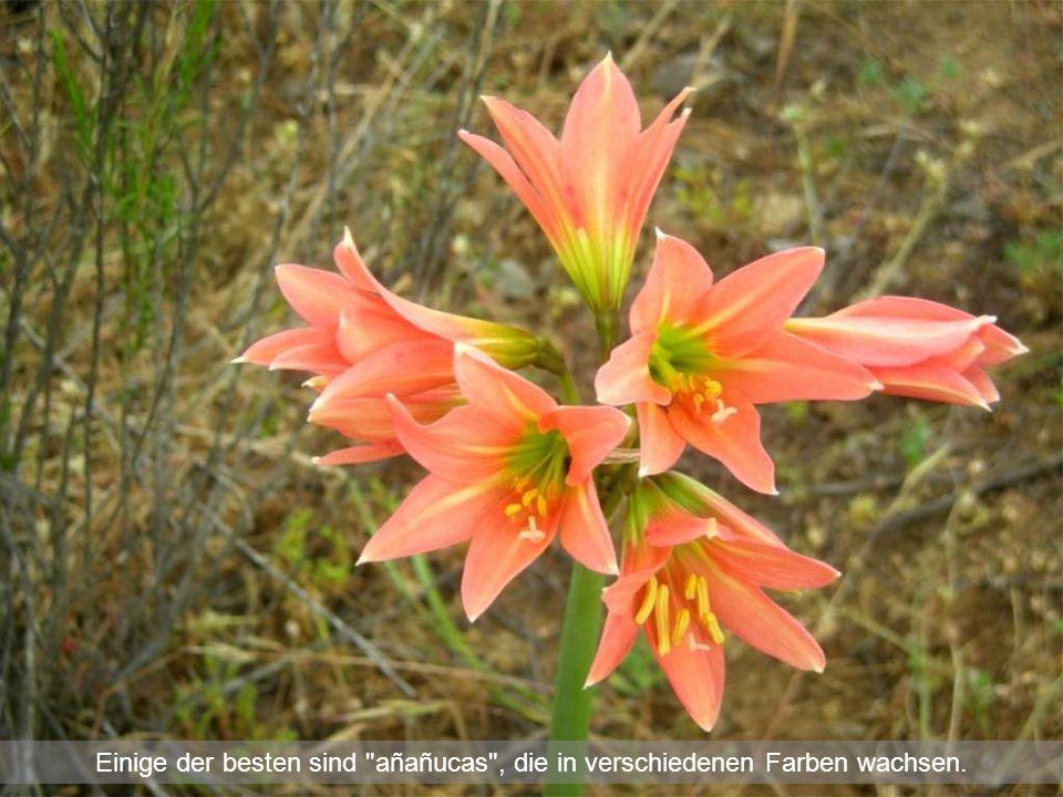 Einige der besten sind añañucas , die in verschiedenen Farben wachsen.