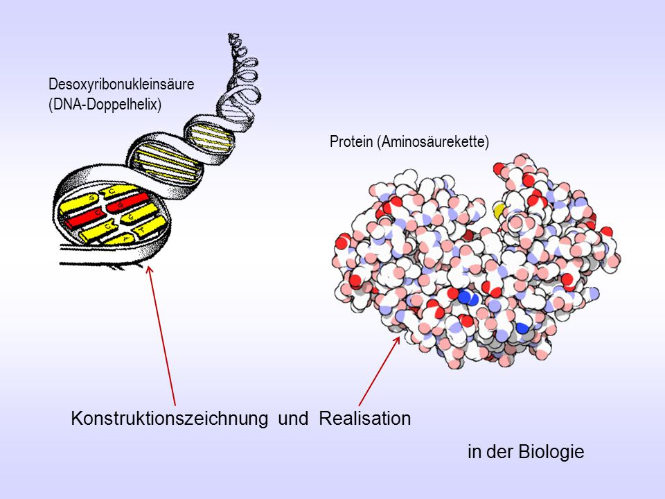 Konstruktionszeichnung und Realisation in der Biologie