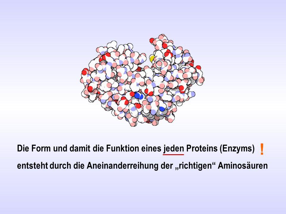 """Die Form und damit die Funktion eines jeden Proteins (Enzyms) entsteht durch die Aneinanderreihung der """"richtigen Aminosäuren"""