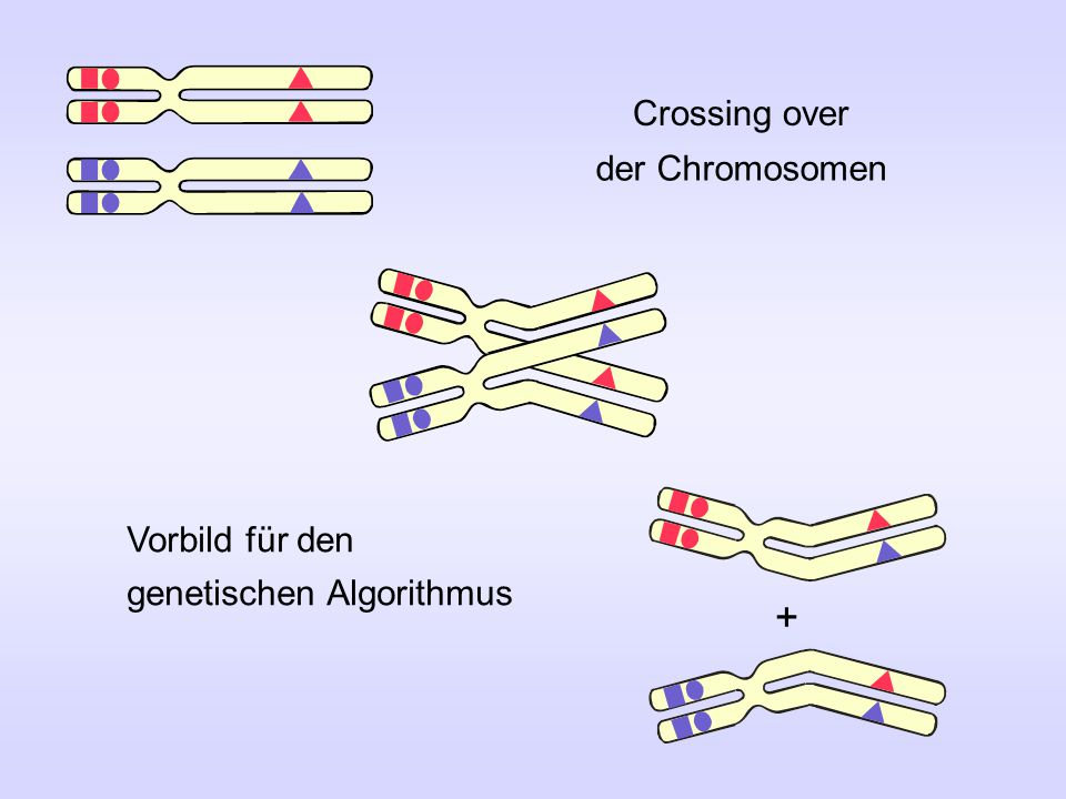 + Crossing over der Chromosomen