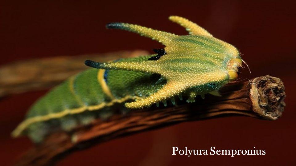 Polyura Sempronius