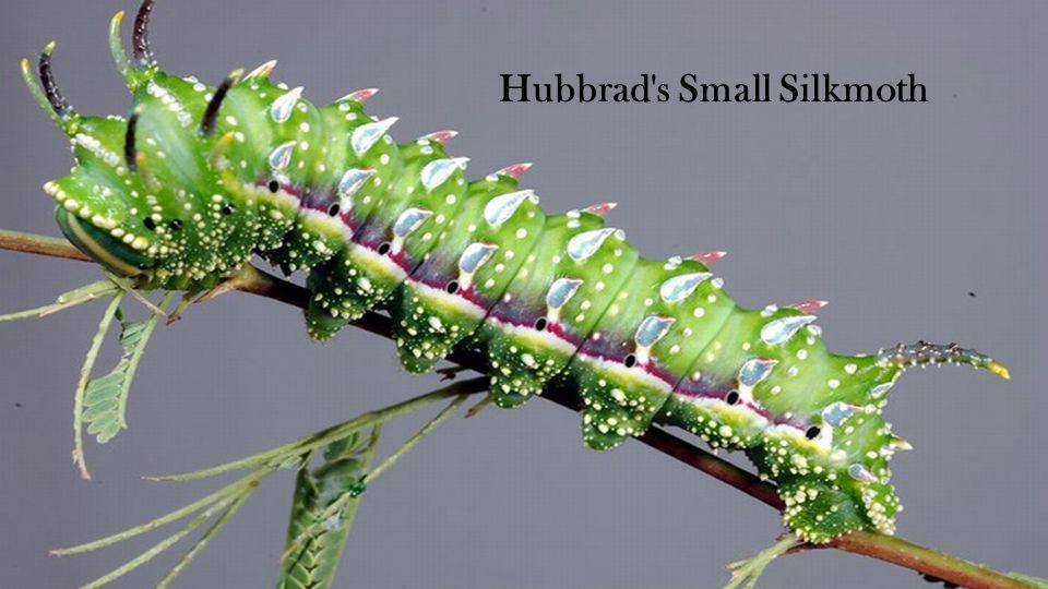 Hubbrad s Small Silkmoth
