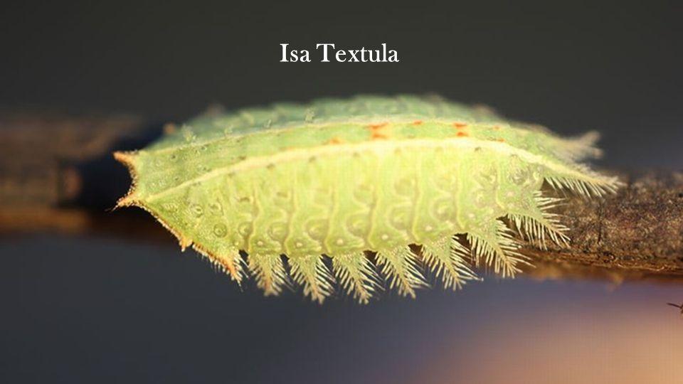 Isa Textula