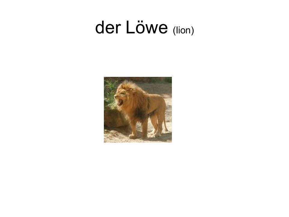 der Löwe (lion)