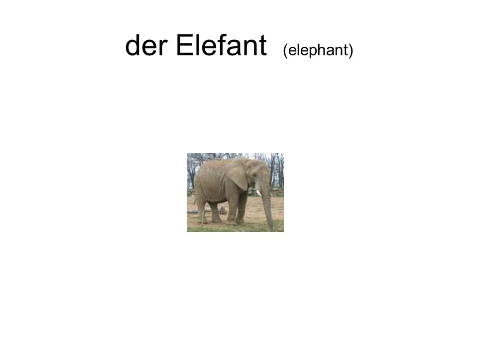 der Elefant (elephant)