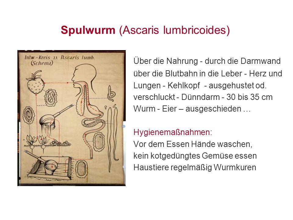 Spulwurm (Ascaris lumbricoides)
