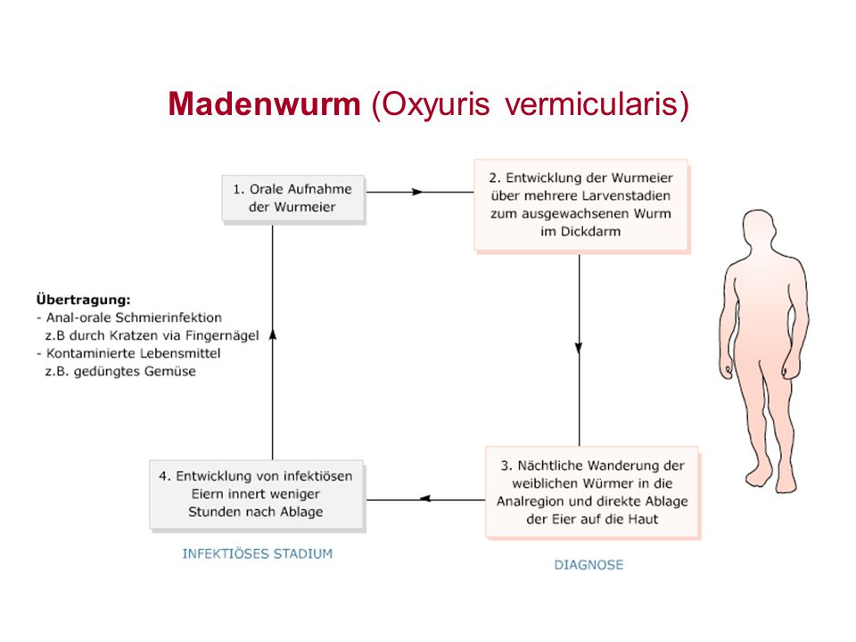 Madenwurm (Oxyuris vermicularis)