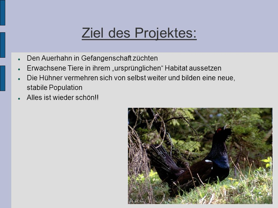 Ziel des Projektes: Den Auerhahn in Gefangenschaft züchten