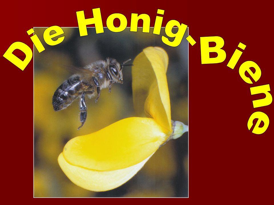 Die Honig- Biene