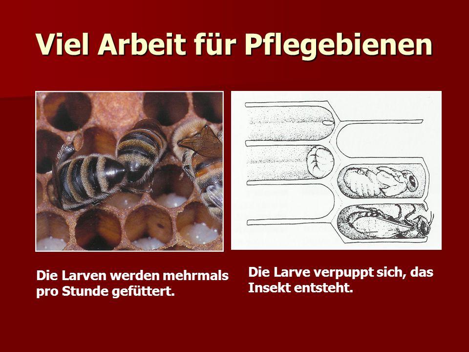 Viel Arbeit für Pflegebienen