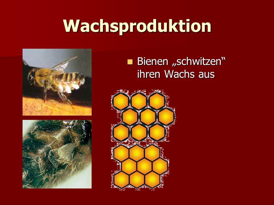 """Wachsproduktion Bienen """"schwitzen ihren Wachs aus"""