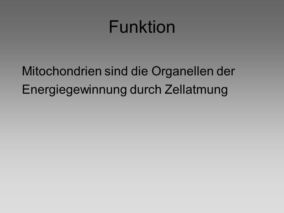 Funktion Mitochondrien sind die Organellen der