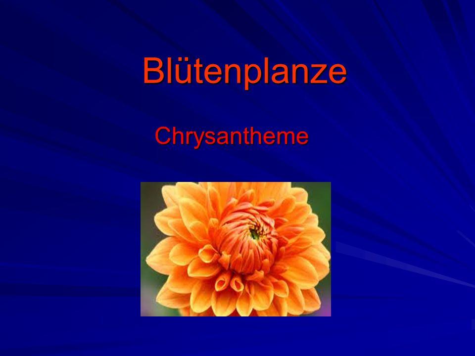 Blütenplanze Chrysantheme
