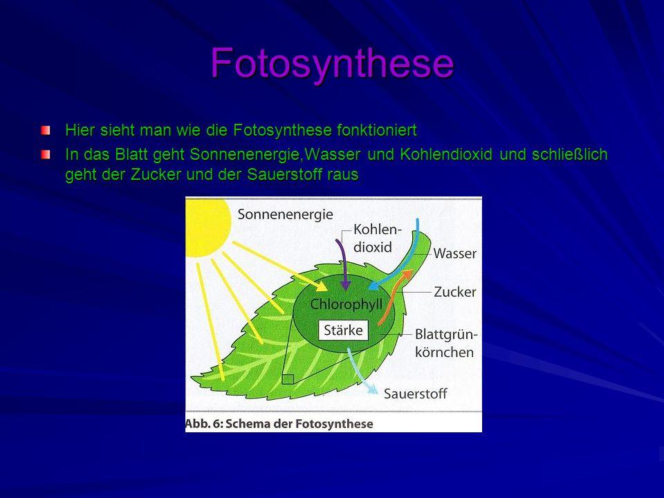 Fotosynthese Hier sieht man wie die Fotosynthese fonktioniert