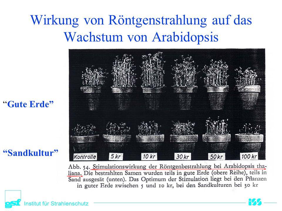 Wirkung von Röntgenstrahlung auf das Wachstum von Arabidopsis