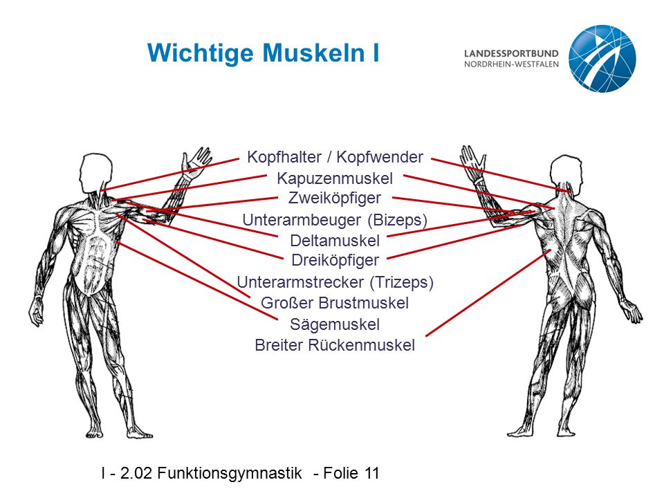 Wichtige Muskeln I Kopfhalter / Kopfwender Kapuzenmuskel