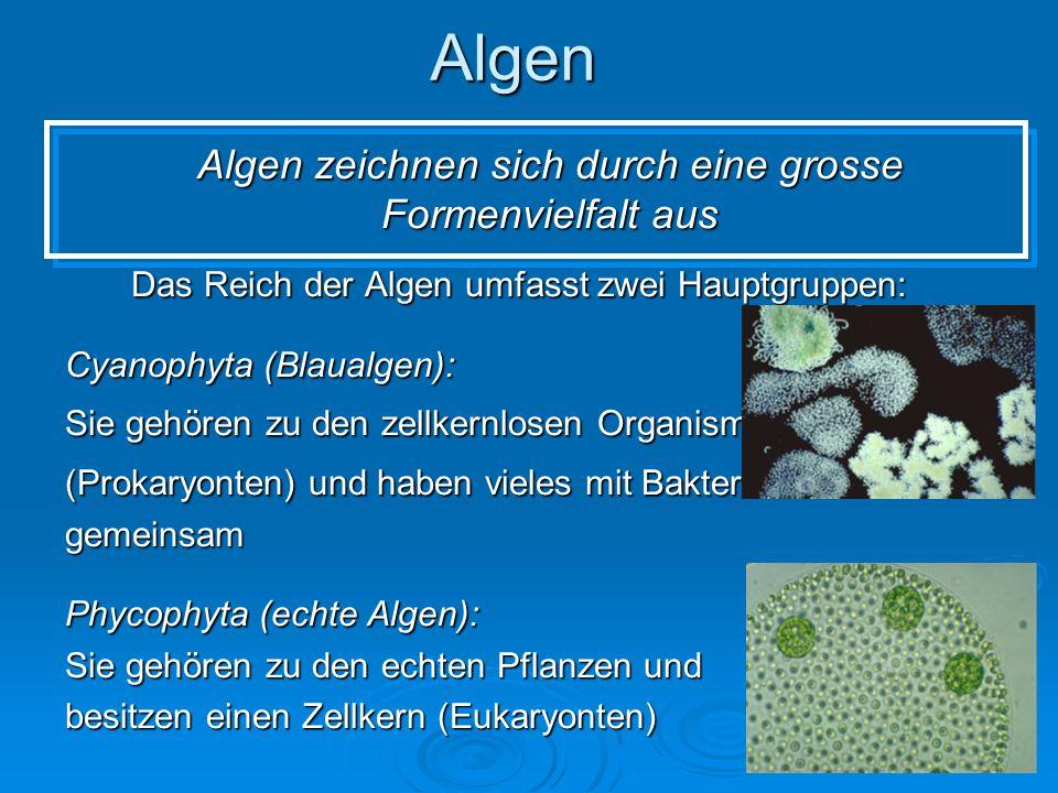 Algen zeichnen sich durch eine grosse Formenvielfalt aus