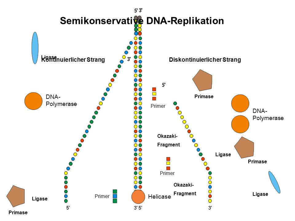 Semikonservative DNA-Replikation
