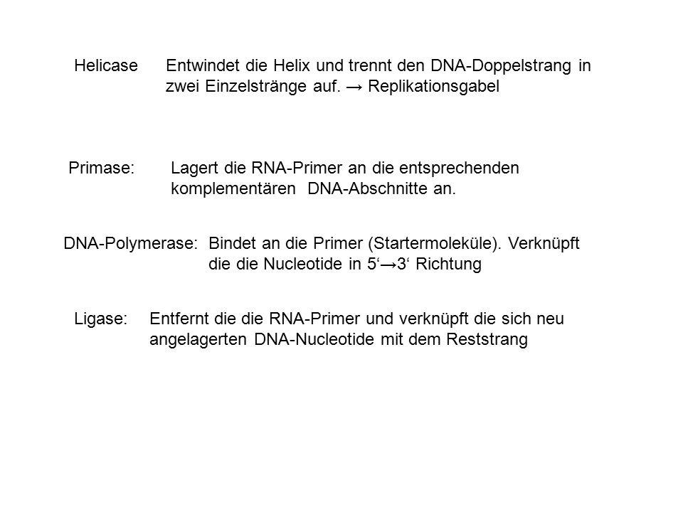 Helicase Entwindet die Helix und trennt den DNA-Doppelstrang in zwei Einzelstränge auf. → Replikationsgabel.