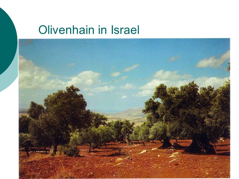 Olivenhain in Israel