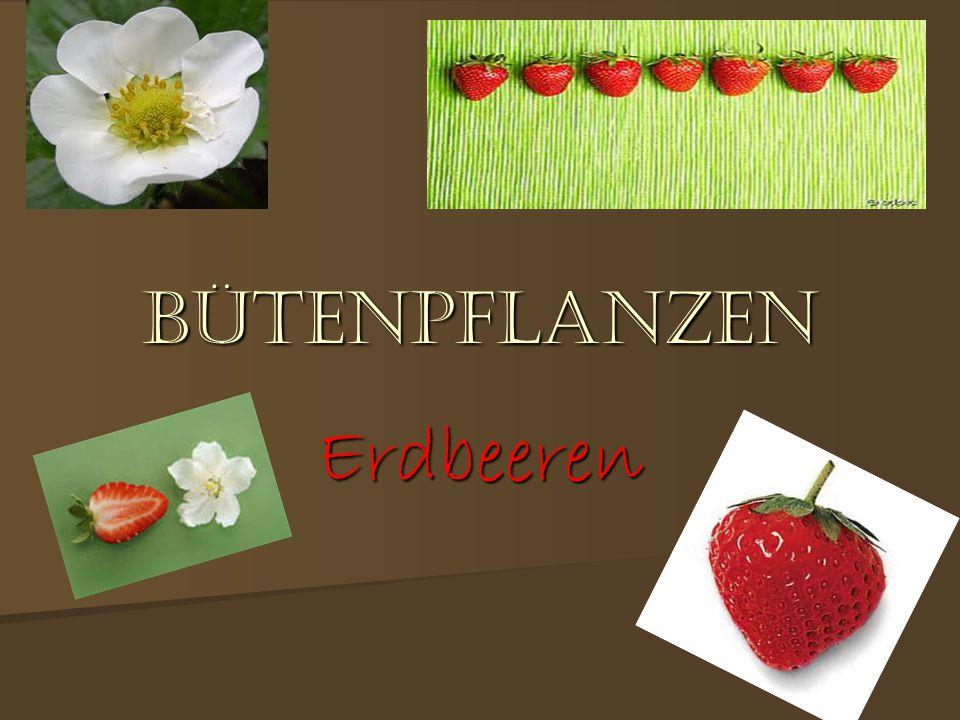 BüTENPFLANZEN Erdbeeren