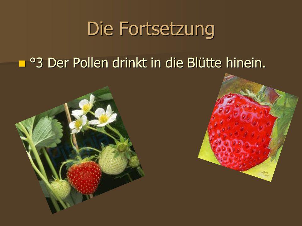 Die Fortsetzung °3 Der Pollen drinkt in die Blütte hinein.