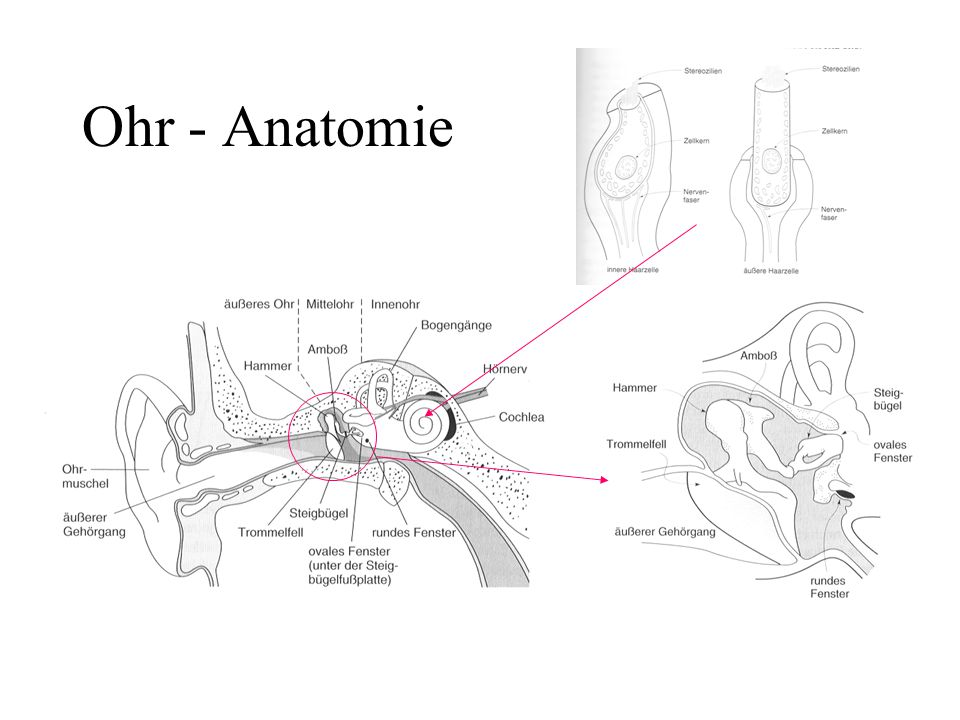 Ohr - Anatomie