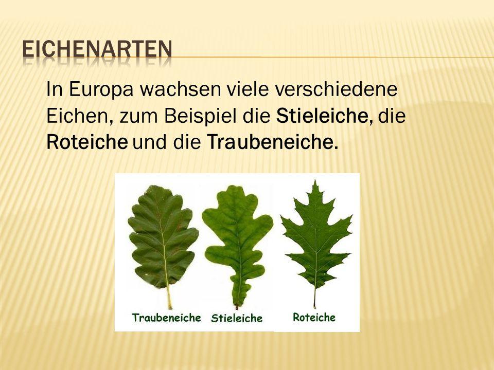 Eichenarten In Europa wachsen viele verschiedene Eichen, zum Beispiel die Stieleiche, die Roteiche und die Traubeneiche.