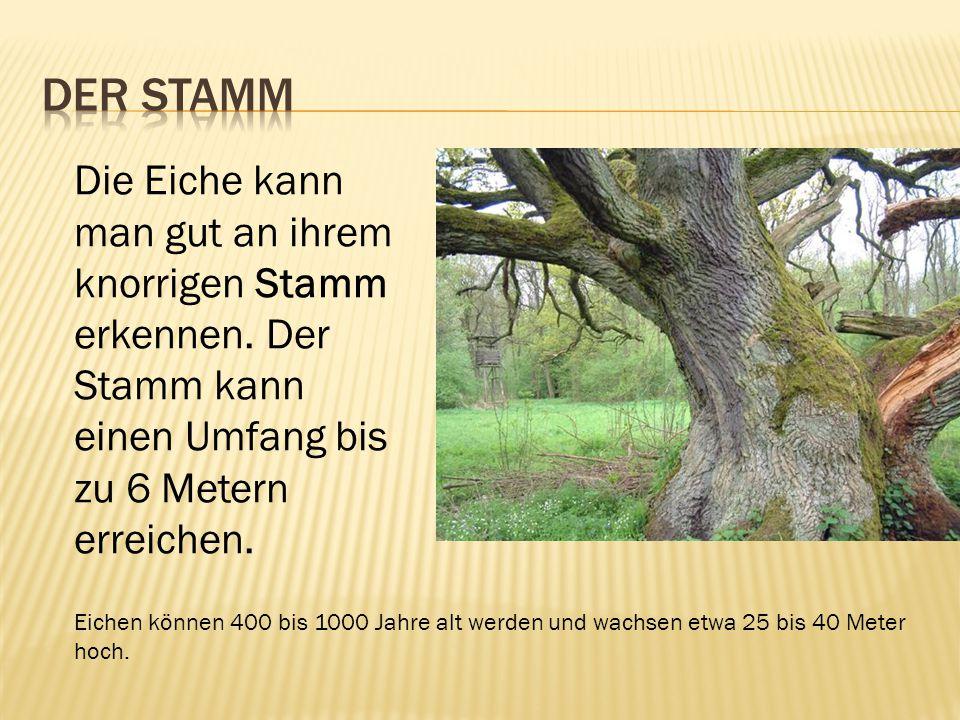 Der Stamm Die Eiche kann man gut an ihrem knorrigen Stamm erkennen. Der Stamm kann einen Umfang bis zu 6 Metern erreichen.
