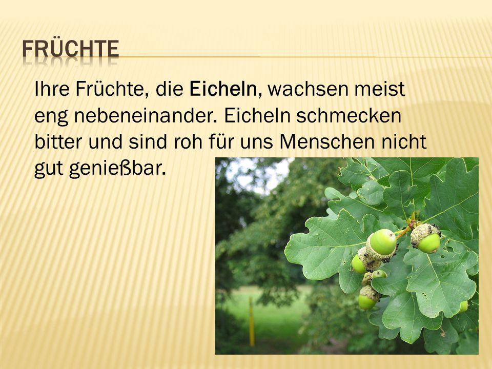 Früchte Ihre Früchte, die Eicheln, wachsen meist eng nebeneinander.
