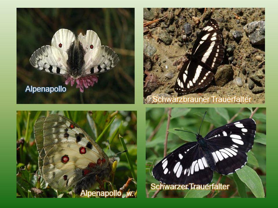 Alpenapollo Schwarzbrauner Trauerfalter Schwarzer Trauerfalter Alpenapollo w.