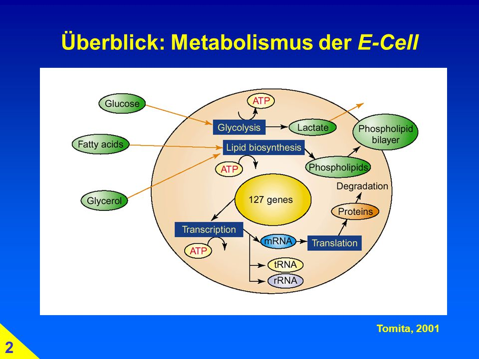 Überblick: Metabolismus der E-Cell