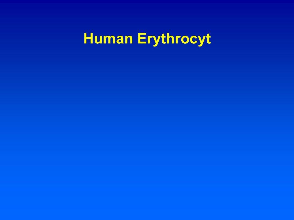Human Erythrocyt