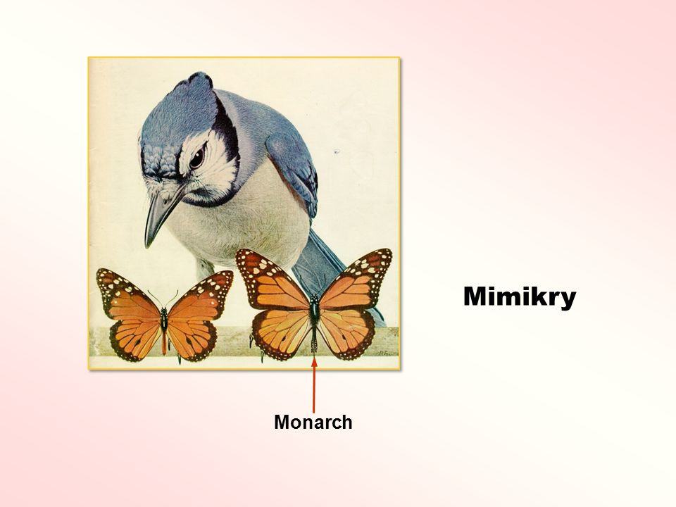 Mimikry Monarch