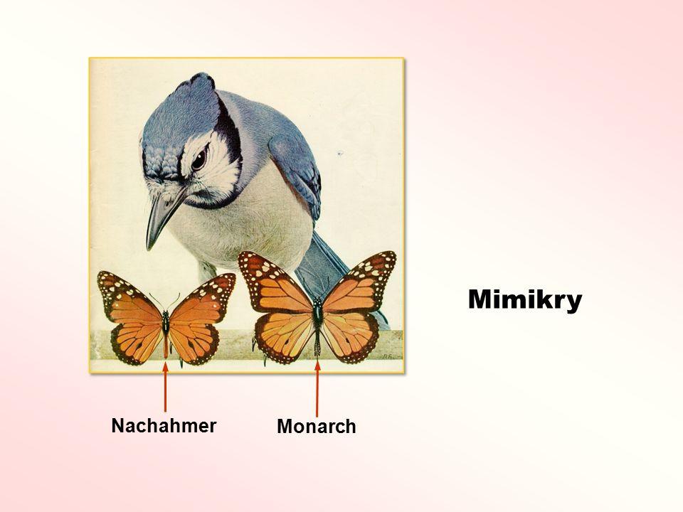 Mimikry Nachahmer Monarch