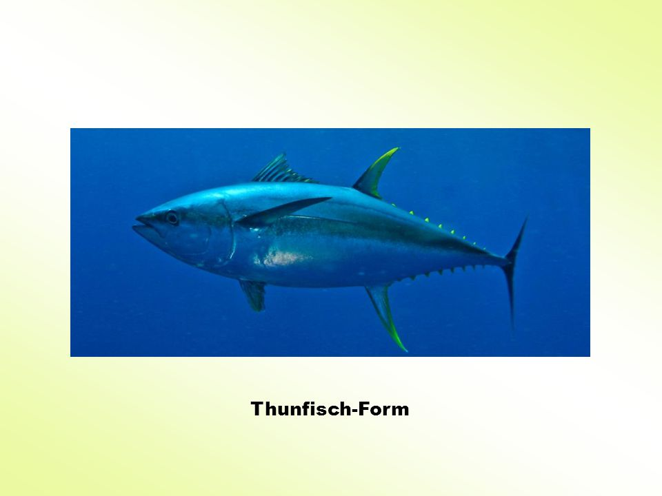 Thunfisch-Form