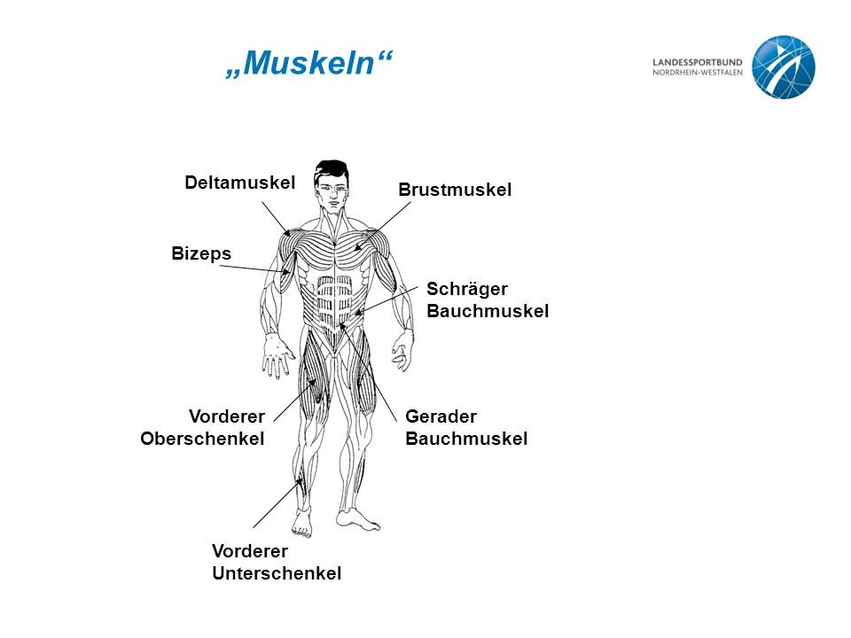 """Muskeln Deltamuskel Brustmuskel Bizeps Vorderer Oberschenkel"