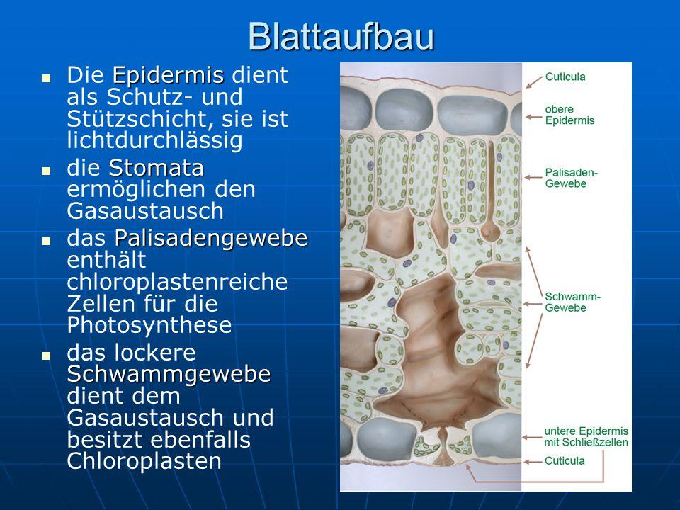 Blattaufbau Die Epidermis dient als Schutz- und Stützschicht, sie ist lichtdurchlässig. die Stomata ermöglichen den Gasaustausch.