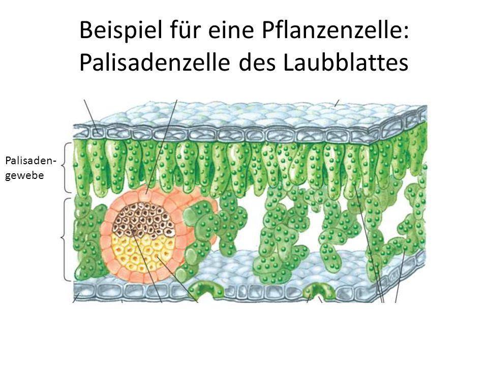 Beispiel für eine Pflanzenzelle: Palisadenzelle des Laubblattes
