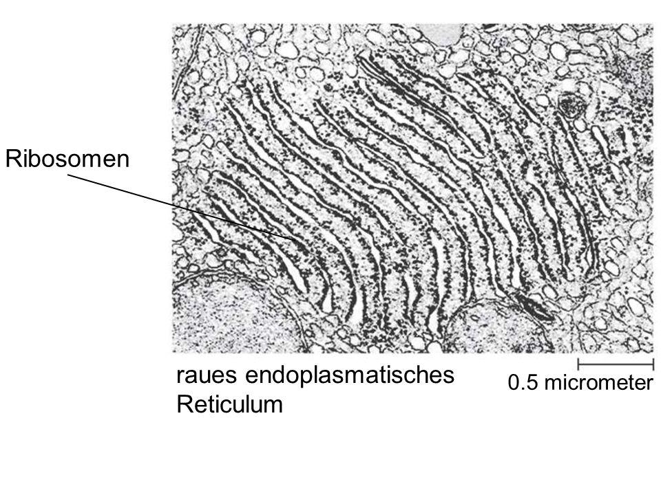 raues endoplasmatisches Reticulum