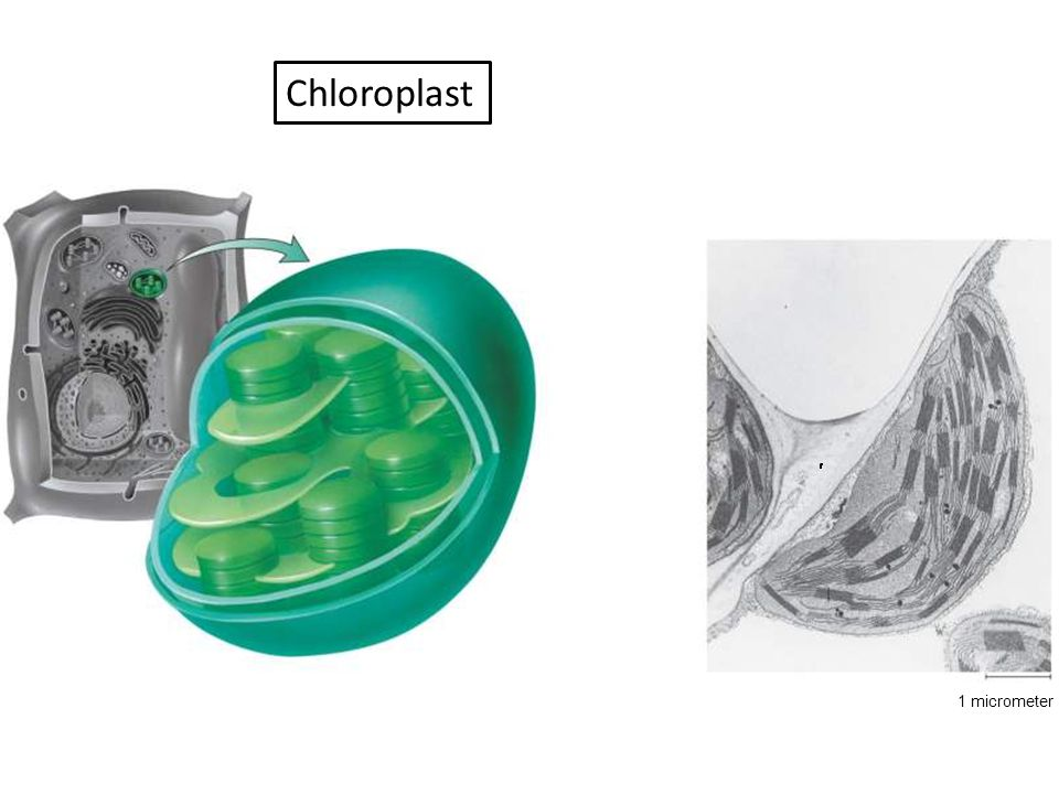 Chloroplast Figure :5-14 Title: A chloroplast Caption: