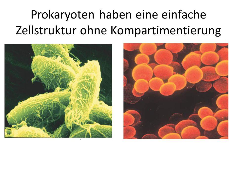 Prokaryoten haben eine einfache Zellstruktur ohne Kompartimentierung