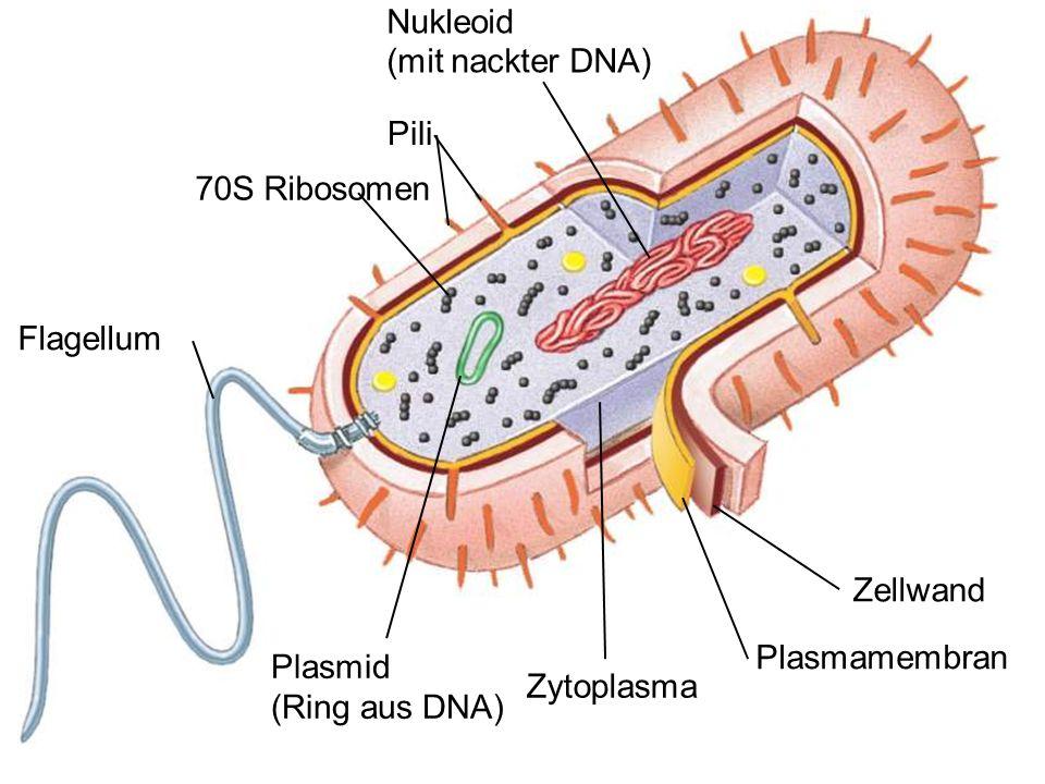 Nukleoid (mit nackter DNA) Pili 70S Ribosomen Flagellum Zellwand