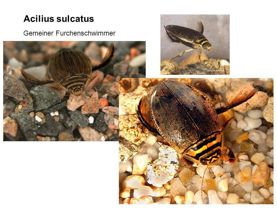 Acilius sulcatus Gemeiner Furchenschwimmer