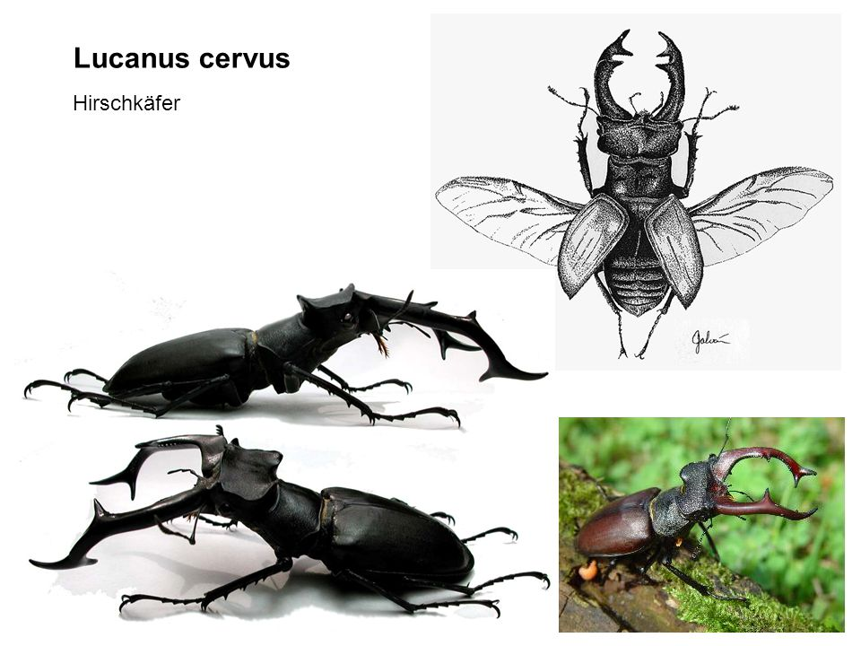 Lucanus cervus Hirschkäfer