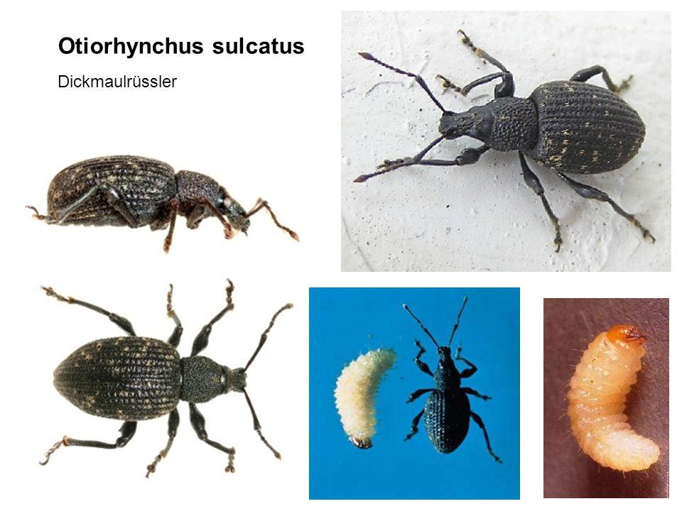 Otiorhynchus sulcatus