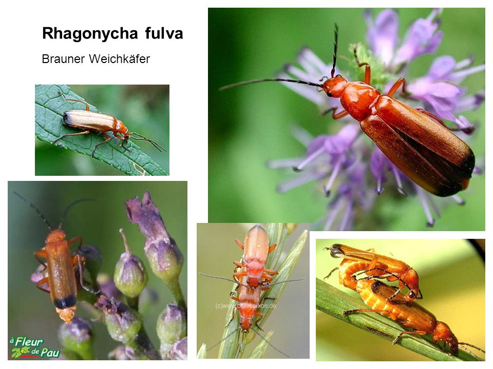 Rhagonycha fulva Brauner Weichkäfer